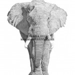 Forever Majestic - Elephant - IN0007